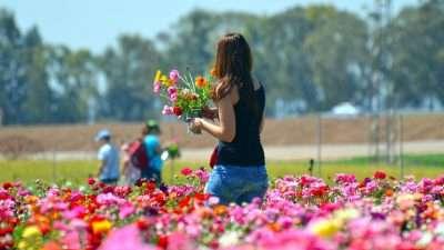 Woman Picking Flowers in a Field