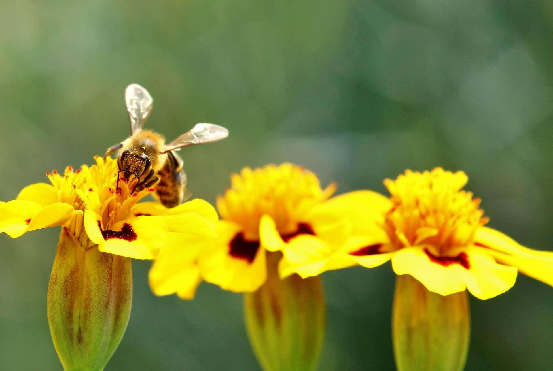 bee pollinating marigold